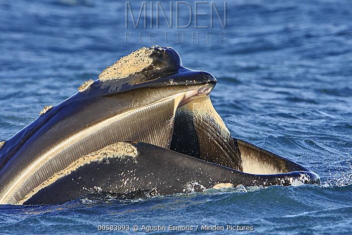 Southern Right Whale (Eubalaena australis) gulp feeding, Chubut, Argentina