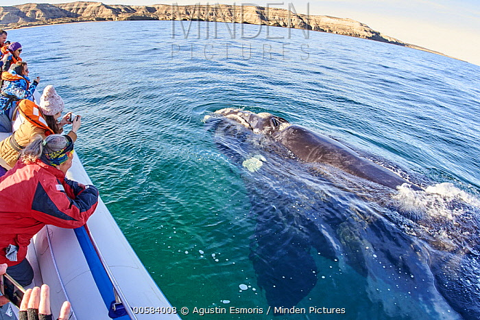 Southern Right Whale (Eubalaena australis) surfacing near whale watching boat, Chubut, Argentina