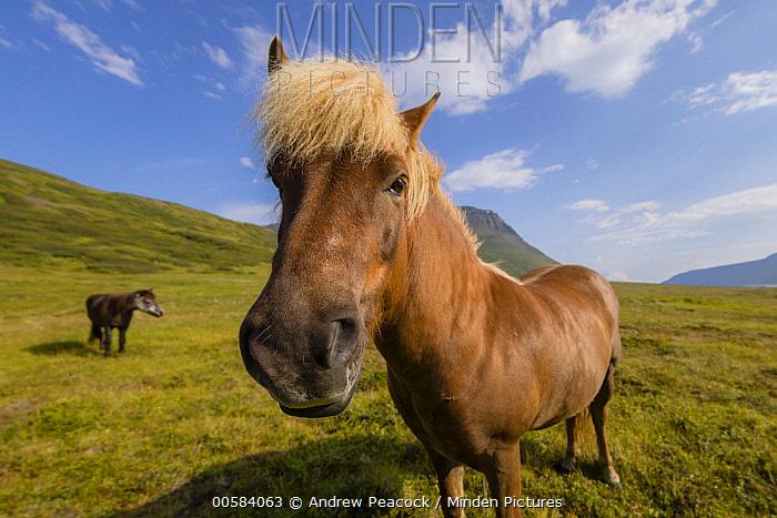 Icelandic Horse (Equus caballus) pair, Seljalandsdalur, Sudavik, Iceland