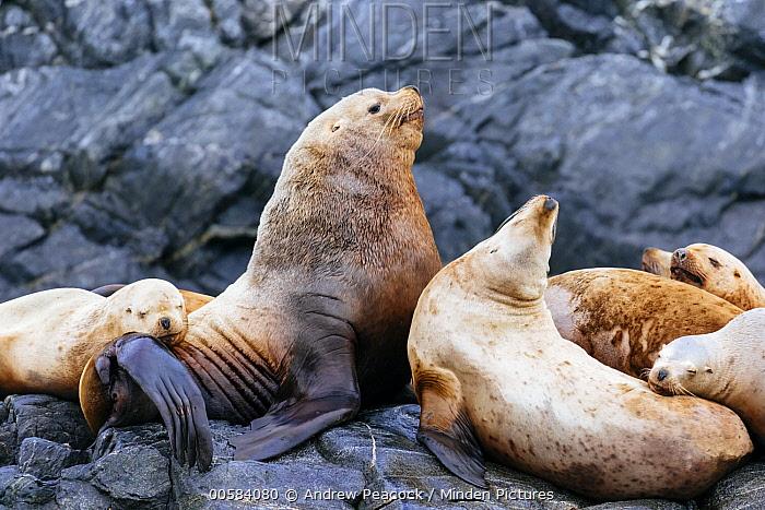 Steller's Sea Lion (Eumetopias jubatus) male with females, Inian Islands, Icy Strait, Alaska