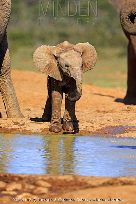 African Elephant (Loxodonta africana) calf drinking at waterhole, Addo National Park, South Africa