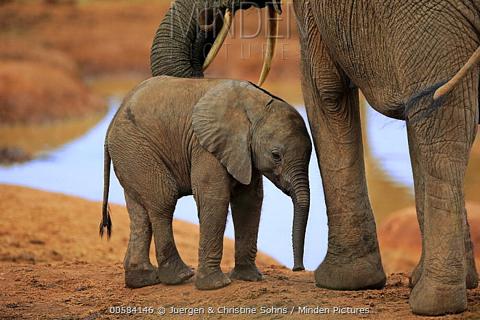 African Elephant (Loxodonta africana) calf, Addo National Park, South Africa