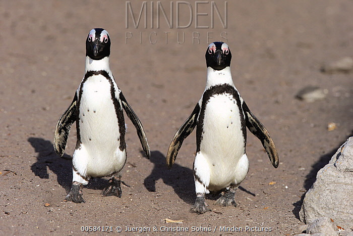 Black-footed Penguin (Spheniscus demersus) pair on beach, Betty's Bay, Stony Point Nature Reserve, South Africa
