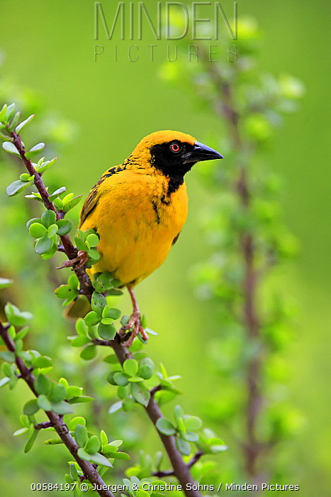Masked-Weaver (Ploceus velatus) male, Addo National Park, South Africa