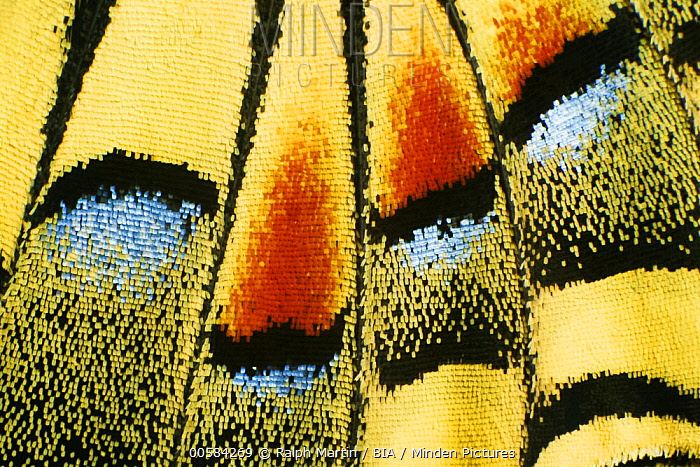 Oldworld Swallowtail (Papilio machaon) wing, Baden-Wurttemberg, Germany