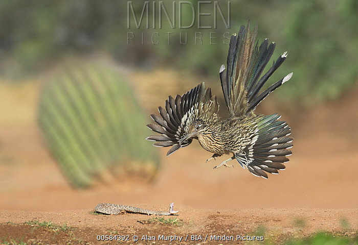 Greater Roadrunner (Geococcyx californianus) predating Western Diamondback Rattlesnake (Crotalus atrox) juvenile, Arizona