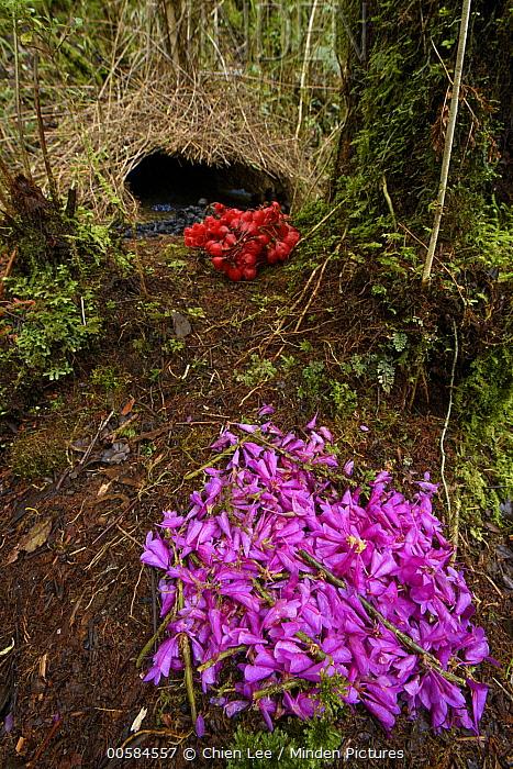 Brown Gardener (Amblyornis inornatus) bower with Orchid (Dendrobium sp) flower decorations, Arfak Mountains, West Papua, Indonesia