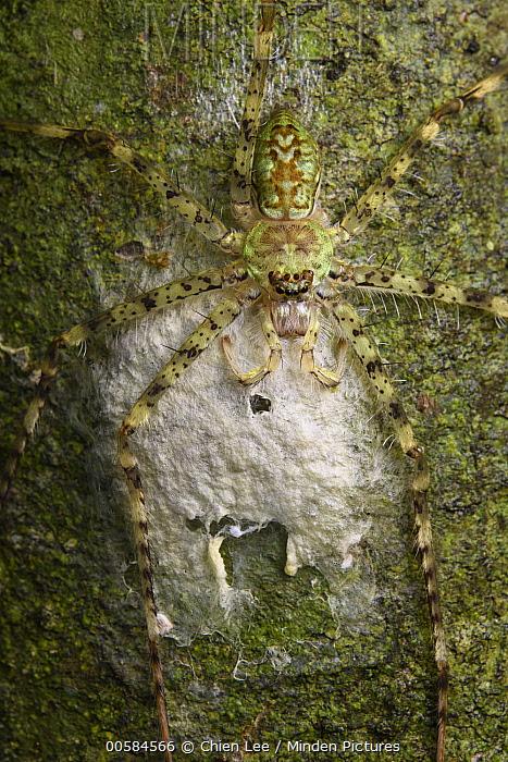 Huntsman Spider (Pandercetes sp) female guarding egg sac, Gunung Lucia, Tawau Hills Park, Sabah, Borneo, Malaysia