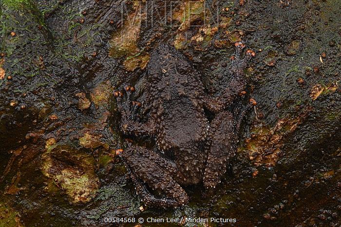 Rough Tree Frog (Theloderma horridum) camouflaged on bark, Kuching, Sarawak, Borneo, Malaysia