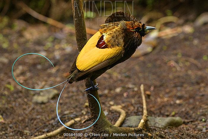 Magnificent Bird-of-paradise (Cicinnurus magnificus) male at lek, Arfak Mountains, West Papua, Indonesia