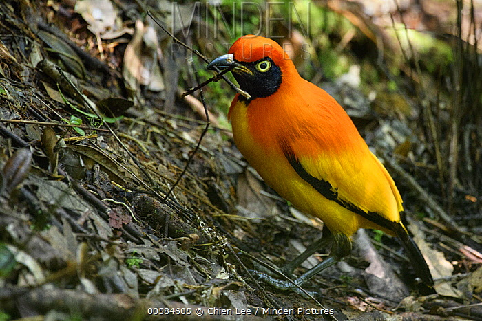 Masked Bowerbird (Sericulus aureus) male repairing bower after it was destroyed by rival bird, Arfak Mountains, West Papua, Indonesia