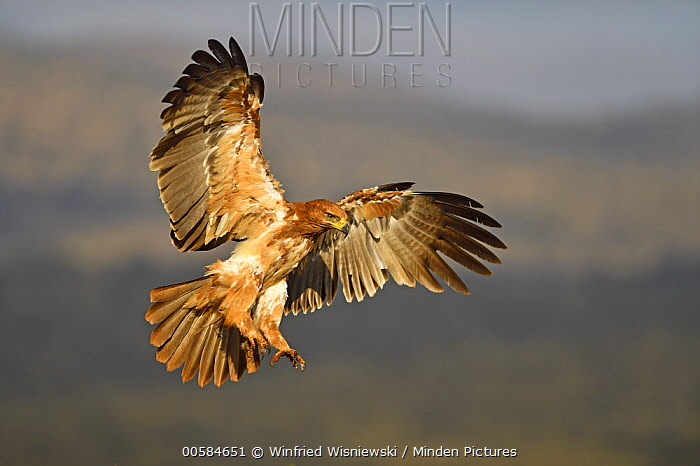 Tawny Eagle (Aquila rapax) flying, KwaZulu-Natal, South Africa
