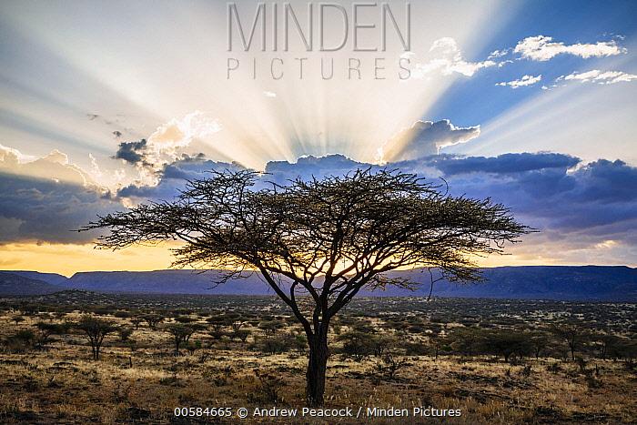 Acacia (Acacia sp) trees at sunset, northern Kenya