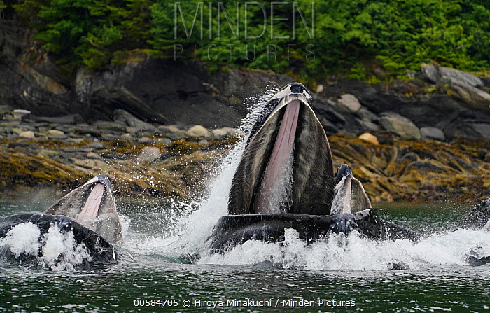 Humpback Whale (Megaptera novaeangliae) trio gulp feeding, Inside Passage, southeast Alaska