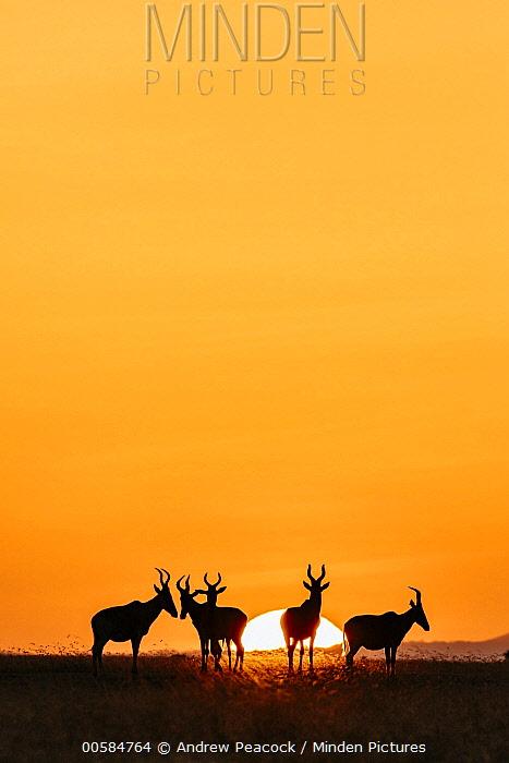 Common Hartebeest (Alcelaphus buselaphus) herd at sunrise, Ol Pejeta Conservancy, Kenya