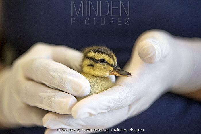 Mallard (Anas platyrhynchos) rehabilitator, Isabel Luevano, with one day old orphan duckling, International Bird Rescue, Fairfield, California