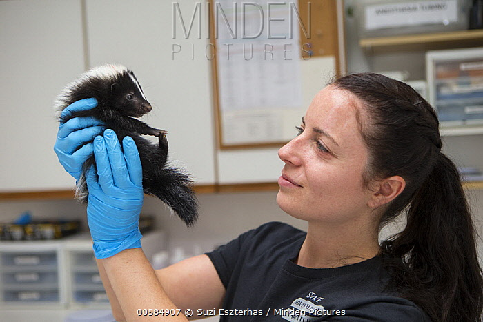 Striped Skunk (Mephitis mephitis) rehabilitator, Jessie Paolello, examining one month old orphan young, Sarvey Wildlife Care Center, Arlington, Washington