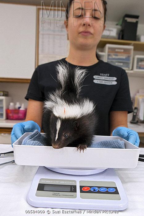 Striped Skunk (Mephitis mephitis) rehabilitator, Jessie Paolello, weighing one month old orphan young, Sarvey Wildlife Care Center, Arlington, Washington