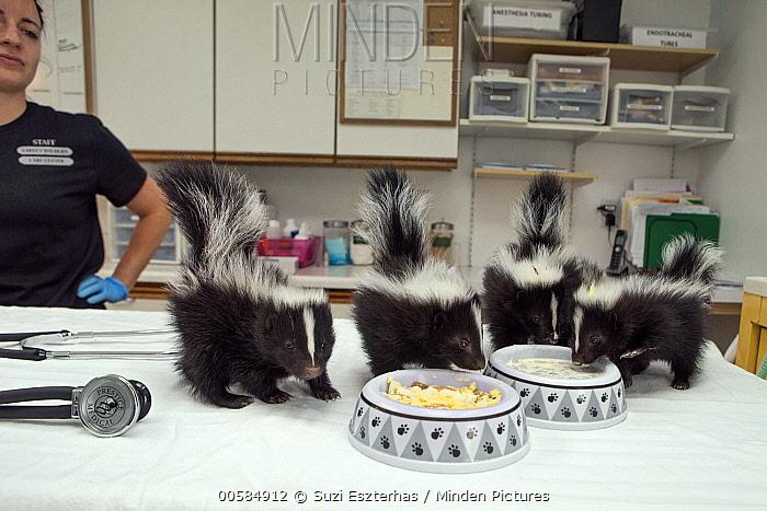 Striped Skunk (Mephitis mephitis) one month old orphan babies feeding, Sarvey Wildlife Care Center, Arlington, Washington