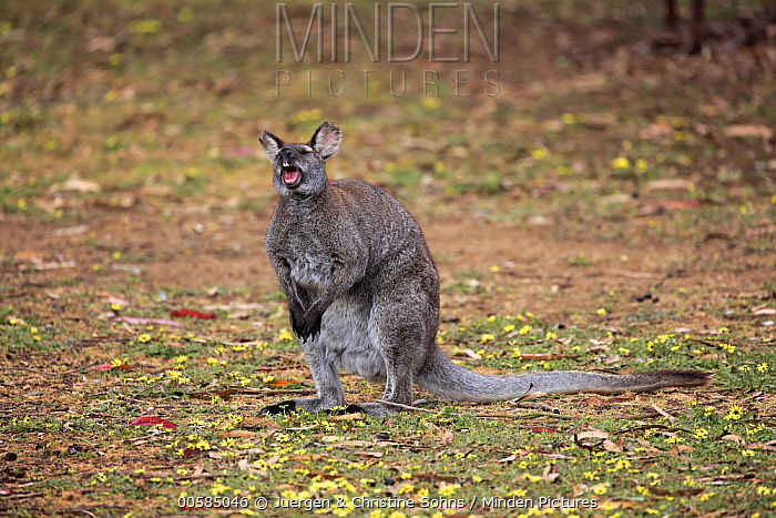 Red-necked Wallaby (Macropus rufogriseus) yawning, Cudlee Creek Conservation Park, South Australia, Australia