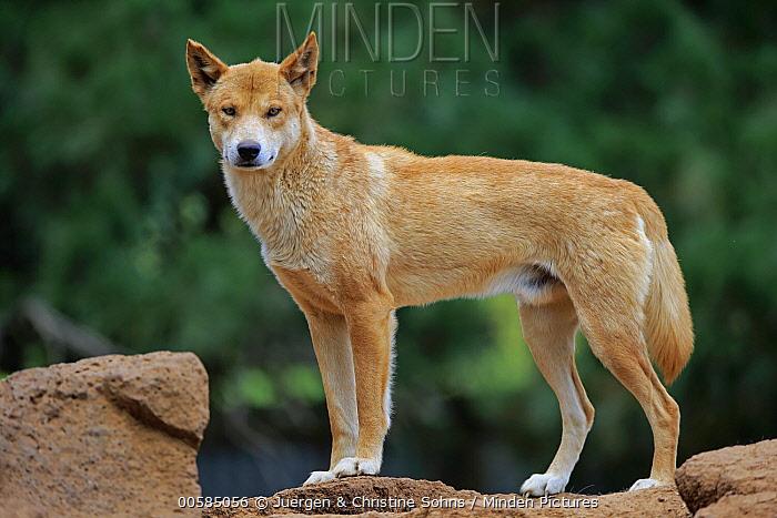 Dingo (Canis lupus dingo), Phillip Island, Gippsland, Victoria, Australia