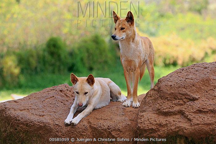 Dingo (Canis lupus dingo) pair, Phillip Island, Gippsland, Victoria, Australia