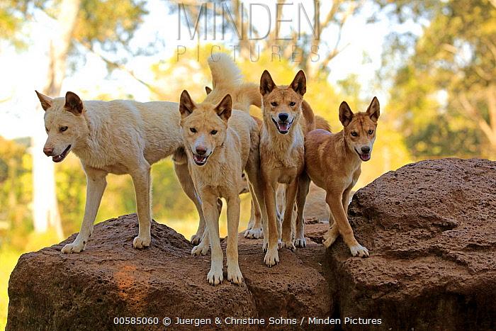 Dingo (Canis lupus dingo) pack, Phillip Island, Gippsland, Victoria, Australia