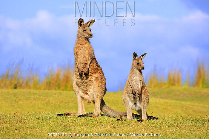 Eastern Grey Kangaroo (Macropus giganteus) mother with joey, Maloney Beach, New South Wales, Australia