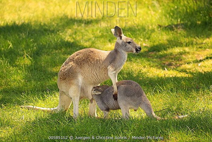 Red Kangaroo (Macropus rufus) mother nursing joey, Cudlee Creek Conservation Park, South Australia, Australia