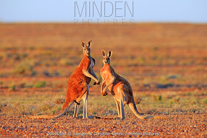 Red Kangaroo (Macropus rufus) males, Sturt National Park, New South Wales, Australia