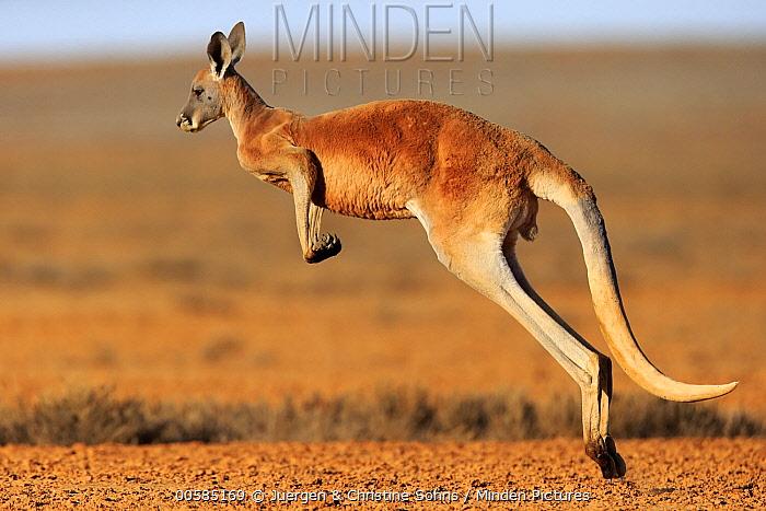 Red Kangaroo (Macropus rufus) jumping, Sturt National Park, New South Wales, Australia