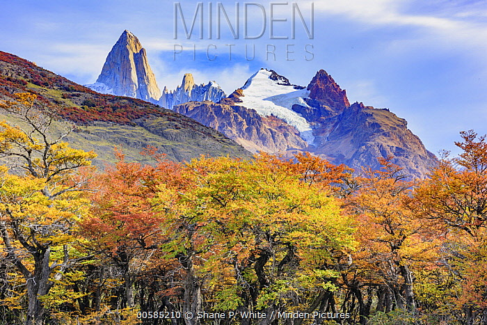 Forest in autumn near mountains, Mount Fitz Roy, Patagonia, Chile