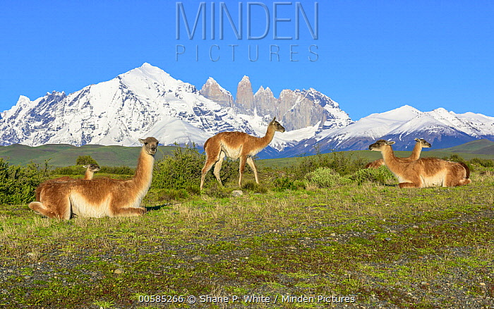 Guanaco (Lama guanicoe) herd and mountains, Torres del Paine, Torres del Paine National Park, Patagonia, Chile