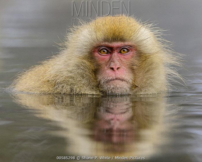 Japanese Macaque (Macaca fuscata) in hot spring, Jigokudani, Nagano, Japan