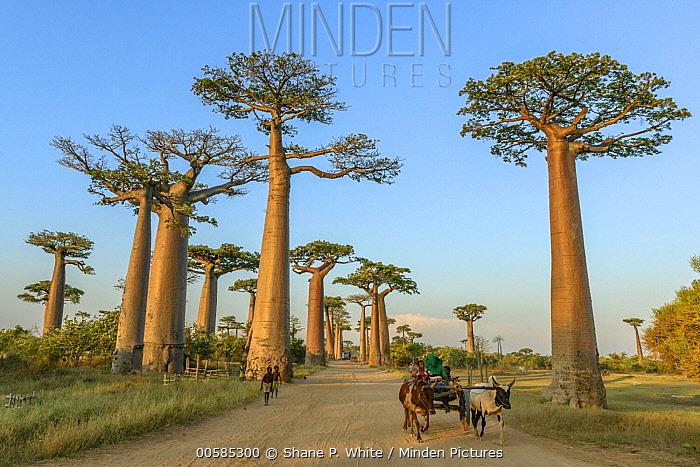 Grandidier's Baobab (Adansonia grandidieri) trees along road used by locals, Avenue of the Baobabs, Madagascar