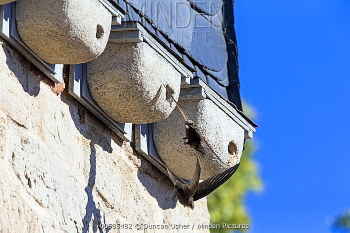 Common Swift (Apus apus) pair flying near nest box, Hesse, Germany