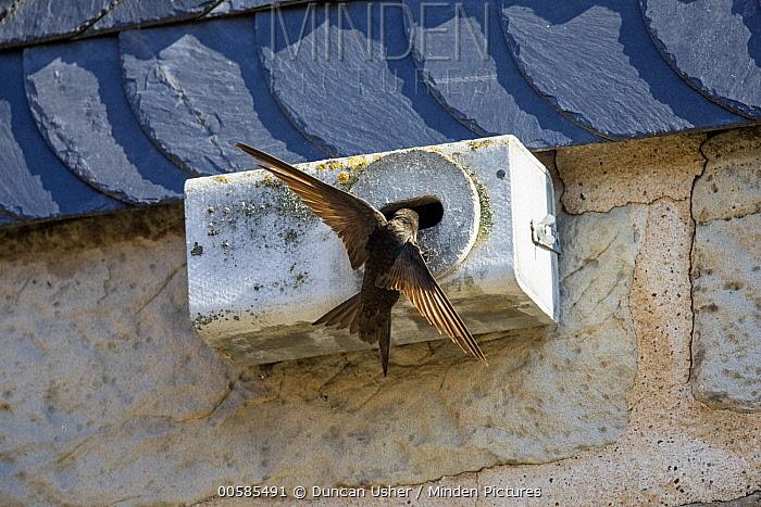 Common Swift (Apus apus) landing at nest box, Hesse, Germany