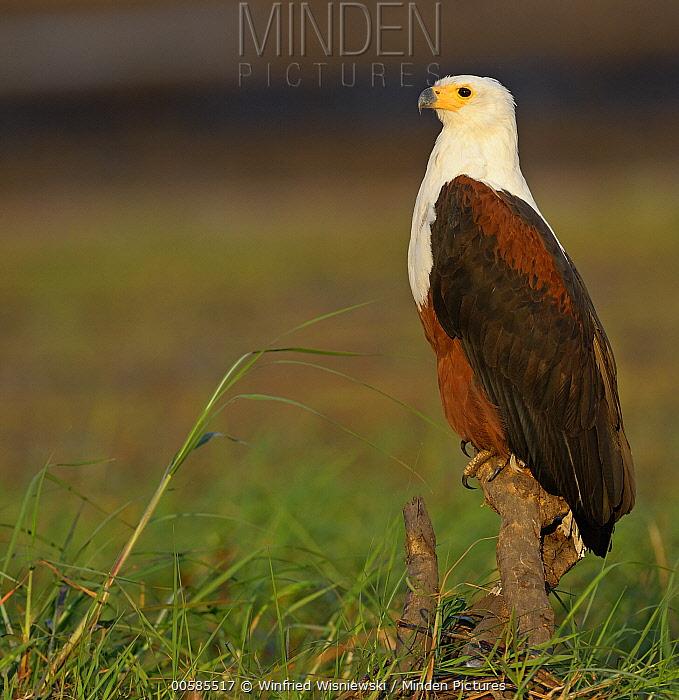 African Fish Eagle (Haliaeetus vocifer), Chobe River, Botswana