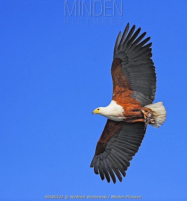 African Fish Eagle (Haliaeetus vocifer) flying, Chobe River, Botswana