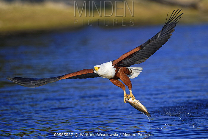 African Fish Eagle (Haliaeetus vocifer) fishing, Chobe River, Botswana