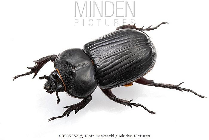 Rhinoceros Beetle (Phileurus truncatus), Solon Dixon Forestry Education Center, Alabama