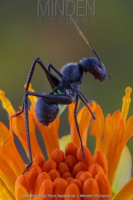 Katydid (Eurycorypha sp) nymph, ant mimic, Gorongosa National Park, Mozambique