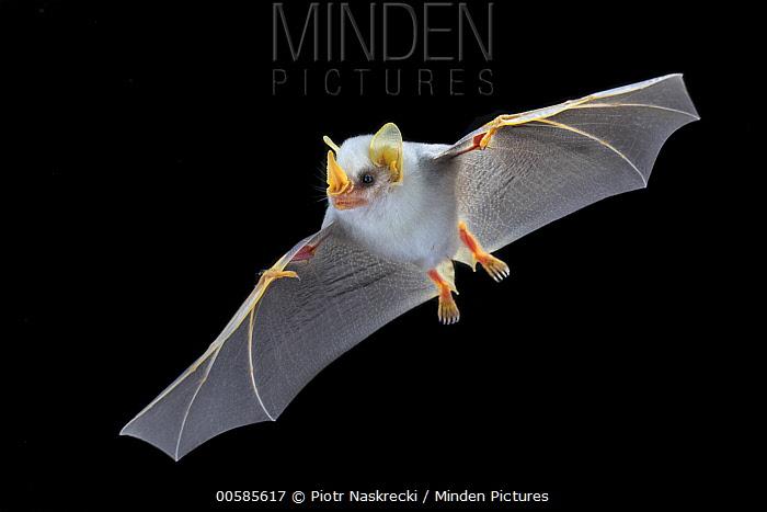 Honduran White Bat (Ectophylla alba) flying, La Selva Biological Reserve, Costa Rica