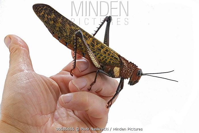 Grasshopper (Tropidacris cristata) on hand, Costa Rica