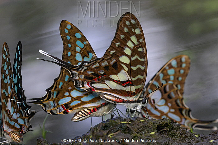Large Striped Swordtail (Graphium antheus) butterflies, Gorongosa National Park, Mozambique