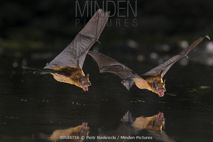 Dobson's Pipistrelle (Pipistrellus grandidieri) pair drinking, Gorongosa National Park, Mozambique