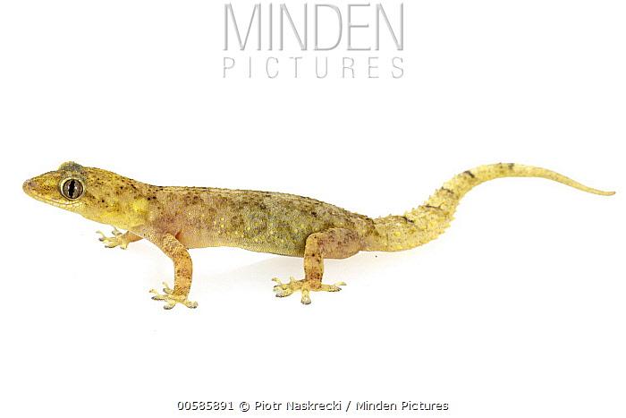 Moreau's Tropical House Gecko (Hemidactylus mabouia), Gorongosa National Park, Mozambique