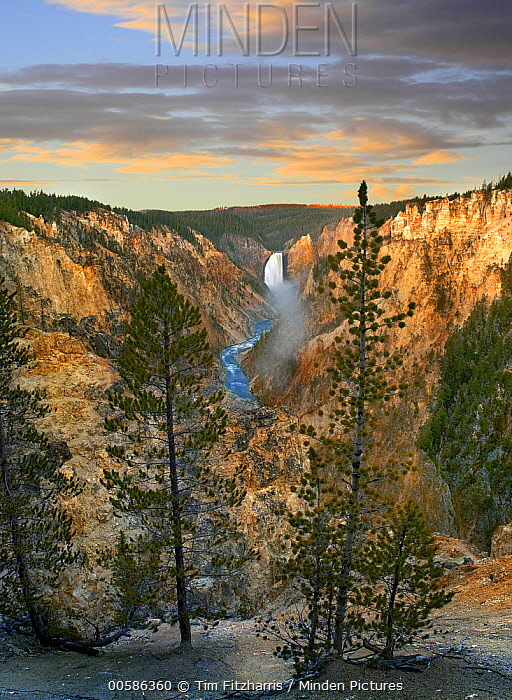 Conifers and Lower Yellowstone Falls, Yellowstone River, Grand Canyon of Yellowstone, Yellowstone National Park, Wyoming
