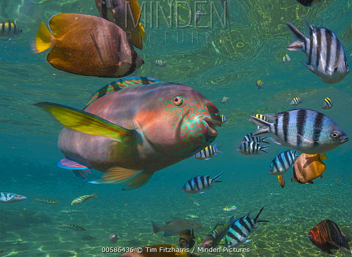 Parrotfish (Scaridae), Butterflyfish (Chaetodon sp), and Scissor-tail Sergeant (Abudefduf sexfasciatus) school, Negros Oriental, Philippines
