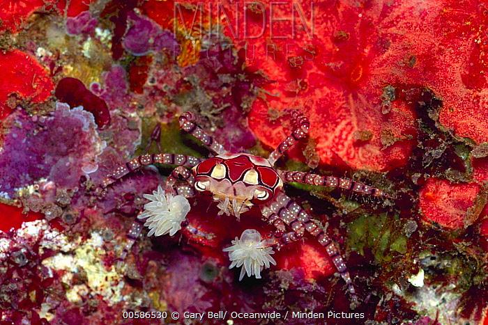 Boxing Crab (Lybia tessellata) holding sea anemone for defense, Bali, Indonesia
